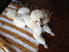 Vanilla Rose, my miniature apricot French poodle. Mini Poodles, French Poodles, Standard Poodles, Pet Beds, Four Legged, Snuggles, Ducks, Eagles, Animals And Pets