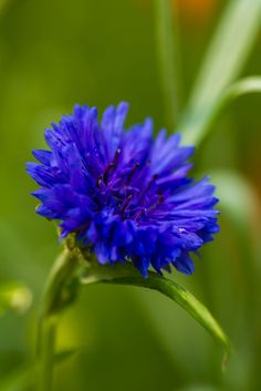 Centaurea cyanus, commonly known as Bachelor Buttons or Cornflower, is an annual flowering plant in the family Asteraceae.