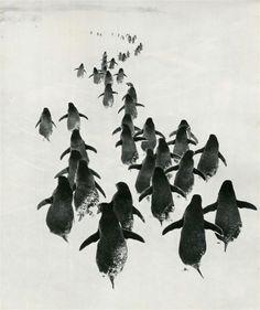 Gennady Koposov. Penguins. c.1967.  [::SemAp FB :: || :: SemAp G+::]