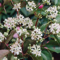 Heptacodium miconioides (Large Plant) - Trees - Thompson & Morgan