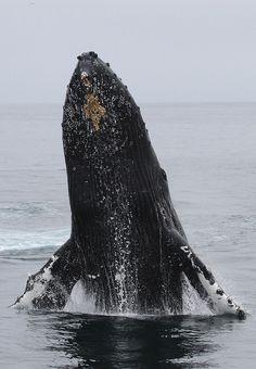 #humpback #whale