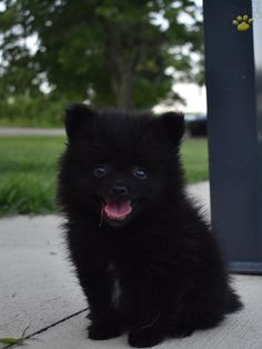 Echo - Pomeranian Puppy for Sale in Walhonding, OH Black Pomeranian Puppies, Pomsky Puppies, Baby Puppies, Puppies For Sale, Cute Puppies, Dogs And Puppies, Pomeranians, Parti Pomeranian, Puppies Tips