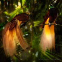 Greater Bird Of Paradise | Greater Bird of Paradise | Flickr - Photo Sharing!