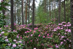 Yleiskuva rhododendron 5.6.2014 SJ3_pienennetty Plants, Projects, Historia, Log Projects, Blue Prints, Plant, Planets
