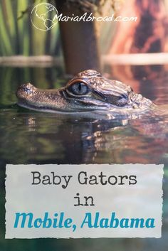 Cute Baby Alligator on Wildlife tour in Mobile Alabama, including kayaking in Mobile and Airboat ride in Mobile, Alabama - fun family travel ideas - USA travel Tips - Southern USA Travel - Things to do in Mobile Alabama