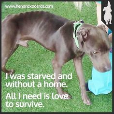 """Story: Happy Tail Ending for Bruno. Emaciated Stray Pit Bull Saved By The PRC Gets Second Chance At Life. Visit the site to see the """"after"""" pictures - amazing!"""