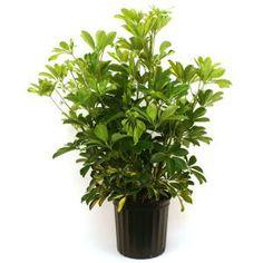 Delray Plants 10in Schefflera Capella Bush-10CAP at The Home Depot