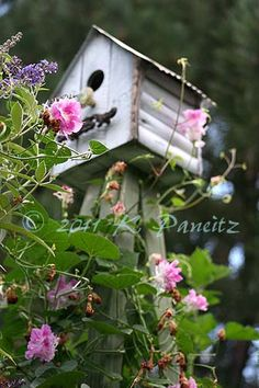 """Morning Glory 'Pink Feathers'""  This is wonderful. I'm trying to encourage DH to make bird houses with tin roofs. AC"