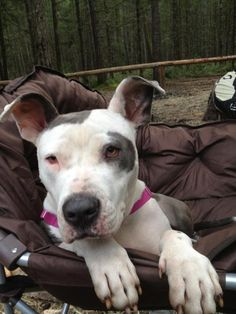 ★10/30/14 STILL LISTED★Sarah (bo beara) -fefifo Fara is an adoptable Pit Bull Terrier, American Bulldog Dog in Langley, BC Meet Gorgeous SARAH (Sare Sare bo Bear) - our big Panda Bear girl who came from the streets of  ... ...Read more about me on @Petfinder.com.com.com.com.com.com.com.com.com