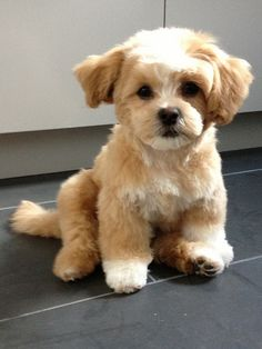OMG...is this prosh or what? Shih Tzu and Bichon Frise=Shichon. Whatever...this puppy is just plain adorabubs!