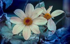 still winter by VicenteRojas still winterhappy day flowerscolorflowerfloralblueplantwhitegardenflora