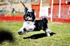 Special Caring Tips for Shih Tzu's growth & behavior