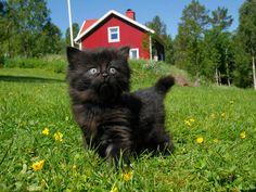 Tiny black floof #aww #cute #cutecats #catsofpinterest #cuddle #fluffy #animals #pets #bestfriend #boopthesnoot