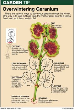 Tips for Saving Geraniums and Other Potted Plants During the Winter by Jeff Rugg. - About Garden and Flowers Overwintering Geraniums, Growing Geraniums, Caring For Geraniums, How To Grow Geraniums, Container Plants, Container Gardening, Succulent Containers, Container Flowers, Potted Plants
