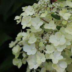 Hydrangea paniculata 'White Lady' (Plant)