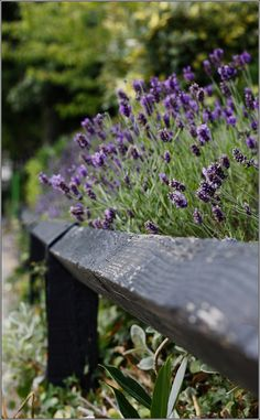 Lavender repels fleas and moths, specifically the codling moth making it a perfect companion to just about any fruit tree.