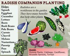 RHGS Outdoor & Gardening Blog: Radish Companion Planting - Lots of information on companion planting