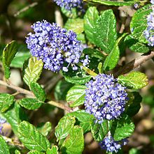 Ceanothus griseus - Wikipedia, the free encyclopedia Raised Pond, California Native Garden, Hydrangea Quercifolia, Wine Searcher, Wine Guide, Expensive Wine, Flowering Shrubs, Fall Plants