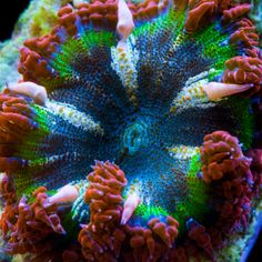 Ultra Red & Green Flower Rock Anemone, Yep definitely would look dope under our lights :)