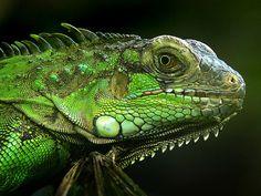 I got: Iguana ! What Reptile/Amphibian Are You?