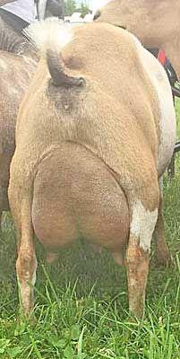 Cabras Saanen, Nigerian Dwarf Goats, Flat Rock, Pet Birds, Dairy, Pets, Animals, Animais, Animales