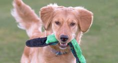 This is Luke - 11 months. He is neutered, current on vaccinations, potty trained, good with dogs. No cats/small kids. He needs continued training, obedience class and an canine pal in his forever home. His foster is working with him on jumping up, rough housing,and leash skills. He is an active, energetic young boy. Homeward Bound GRR, CA. - http://www.homewardboundgoldens.org/available-dogs/luke.html
