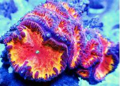 Live Coral DREEF FIREPLACE BLASTO BLASTOMUSSA CHALICE, WYSIWYG FRAG!! picclick.com
