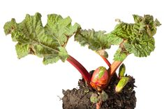 Splitting Rhubarb ? When And How To Divide Rhubarb Plants