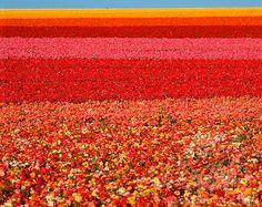 Ranunculus flower field, San Diego, CA. Field of Ranunculus flowers at Carlsbad , Beautiful World, Beautiful Places, Carlsbad Flower Fields, Ranunculus Flowers, Ranunculus Centerpiece, Ranunculus Boutonniere, Ranunculus Wedding, White Ranunculus, Tulips