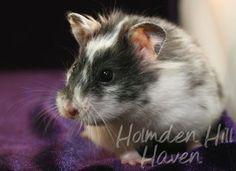 Happy- Black Dominant Spot Longhaired Syrian Hamster Hamster Species, Syrian Hamster, Happy Black, Hamsters, Tarot, Pup, Coat, Animals, Sewing Coat