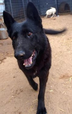 Meet Buddy a Petfinder adoptable German Shepherd Dog Dog | Prague, OK