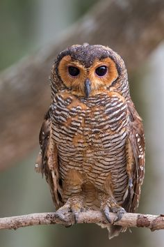 THE SPOTTED WOOD OWL - Beautiful Owl, Animals Beautiful, Cute Animals, Owl Photos, Owl Pictures, Wood Owls, Owl Bird, Mundo Animal, Cute Owl