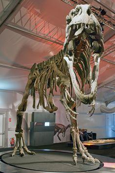 giganotosaurus fossil