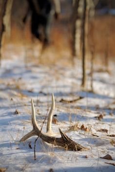 "Shed Hunting Tips | 15 ""Killer"" Tips for Finding Sheds and Patterning Your Deer Herd"