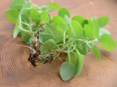 Rýmovník odpuzuje hmyz, pomáhá léčit rýmu, jeho odvar se hodí na ekzém a drobná kožní poranění. Klidní trávení a působí protizánětlivě. To je jen malý výčet použití. Jak užívat rýmovník … Korn, Health, Plants, Medicine, Syrup, Health Care, Plant, Medical, Planets