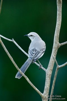 Tropical Mockingbird (mimus gilvus) is a resident breeding bird from southern Mexico south to northern Brazil, and in the Lesser Antilles and other Caribbean islands.