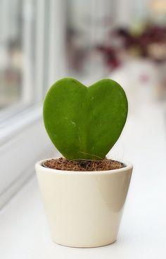 ˚I ♥ My Lucky Heart Plant