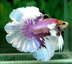 rosetail - beautiful and gorgeous betta fish Tropical Freshwater Fish, Freshwater Aquarium Fish, Tropical Fish, Betta Fish Types, Betta Fish Care, Beautiful Fish, Animals Beautiful, Poisson Combatant, Carpe Koi