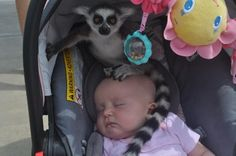 """My friend had her daughters at a zoo when she heard, """"Ma'am, there's a lemur on your baby"""