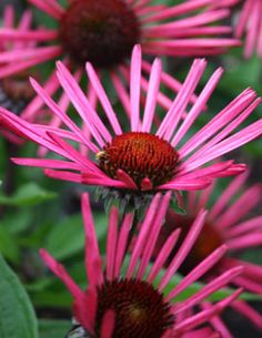 """Burgundy Fireworks"" Coneflower  (long-lasting, beet-red petals)"