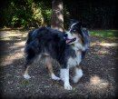 Lacey is an adoptable Australian Shepherd Dog in Alexandria, VA. Lacey is an awesome Blue Merle Australian Shepherd who between approx. 4 years old, house trained, good with kids and other dogs.  Lac...