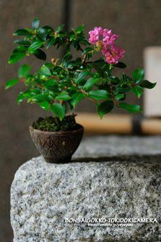 盆栽ごっこ┬盆栽ごっこ|盆栽ごっこ。…時々カメラ。