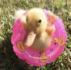 Even ducklings practice water safety Baby Animals Super Cute, Cute Little Animals, Cute Funny Animals, Cute Dogs, Baby Animals Pictures, Cute Animal Pictures, Animals And Pets, Pet Ducks, Baby Ducks