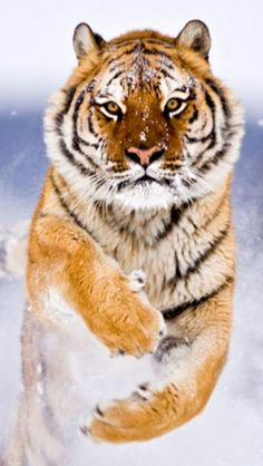 Tiger in the snow.