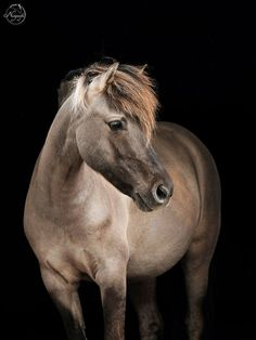 Dülmen pony, one of the last wild horses in Germany