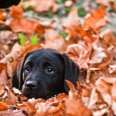 Black Lab playing in the leaves.