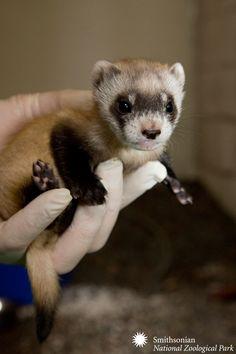 Baby black-footed ferret - Hello Cutie!