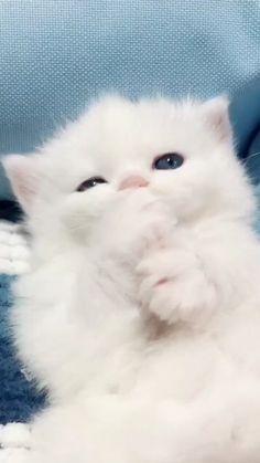 Cute Baby Cats, Cute Little Animals, Cute Cats And Kittens, Cute Funny Animals, Kittens Cutest, Funny Cats, White Kittens, Cute Kitty, Super Cute Cats