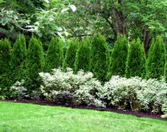 Emerald Green Arborvitae Cupressaceae Thuja Occidentalis Emerald Green is a Fast, Moderate growing Shrub, Coniferous with a Dark Green foliage color that attracts Visual Attention. Arborvitae Landscaping, Privacy Landscaping, Garden Privacy, Garden Shrubs, Garden Trees, Outdoor Landscaping, Outdoor Plants, Lawn And Garden, Outdoor Gardens