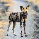 African Wild Dog information, facts, and high-quality breed pictures. Learn everything about the African Wild Dog dog breed including temperament, care, and more. Dog Habitat, African Wild Dog, Group Of Dogs, Dog Information, Alphabetical Order, Wild Dogs, Hyena, Habitats, Dog Breeds
